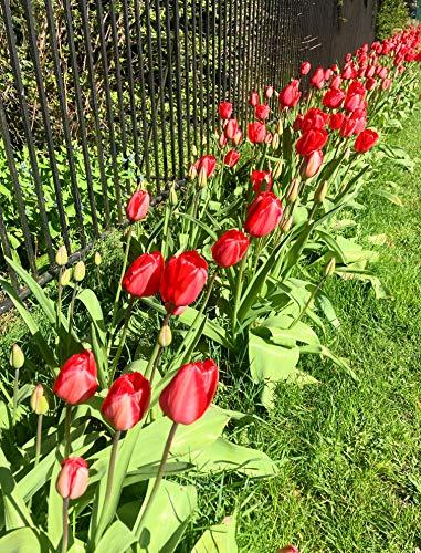 20 x Red Tulip Bulbs (Free UK Postage)