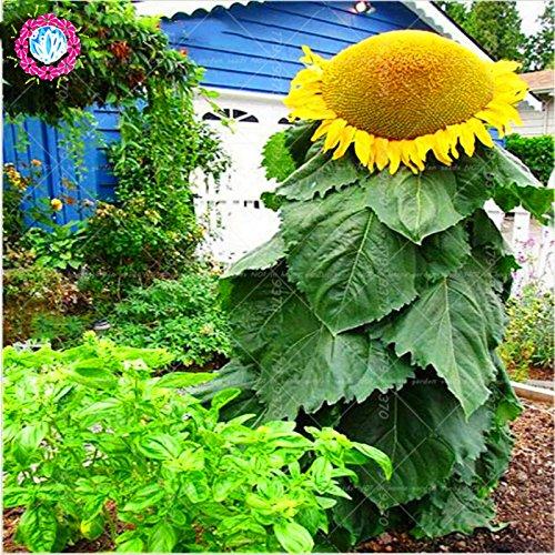 40 pcs géant de graines de tournesol, graines gros de fleurs géantes, Top semences de qualité pour les plantes de jardin de la maison familiale délicieux casse-croûte graine annuus