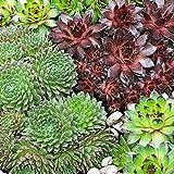 3x Sempervivum | Joubarbe rouge-vert | Plante d'extérieur fleurie | Hauteur 10-12cm | Pot Ø 9cm
