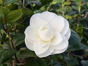 camellia japonica online