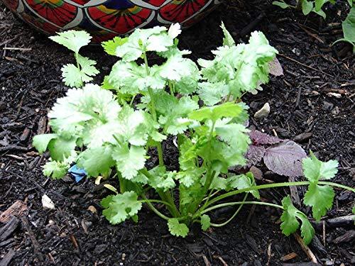 Nuovi semi di coriandolo coriandolo non OGM Germogli organici Garden Salsa Tex messicani 100 + Semi