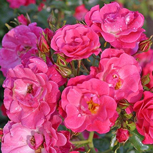 Kordes Rosen Blühwunder 08 Kleinstrauchrose, rosa, 12 x 12 x 40 cm