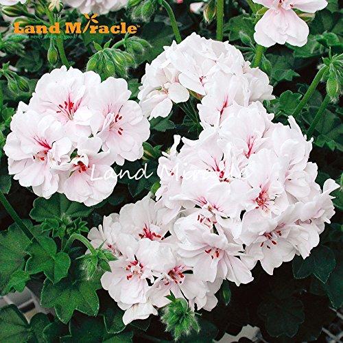 5 PCS frais Rose Géranium Fleur Graines Pelargonium vivace Plante Bonsai Jardin des plantes en pot pour
