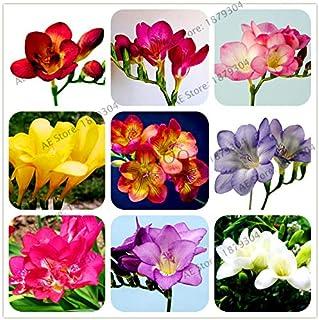 Pinkdose 100pcs / bag Freesia jardín, color mezclado, bulbos de flores fresia bulbos de flores bonsái flores de las orquídeas Freesia Rizoma flores bulbosas