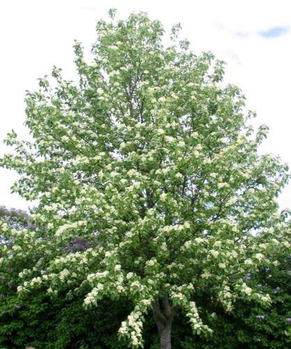Arbre Montagne européenne Ash Sorbus aucuparia Rowan ornementaux 30 graines