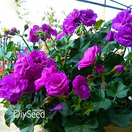 Big Förderung. 30Stück/Pack Elegante lila univalve Geranien Samen Mehrjährig Blumensamen Pelargonium fußblatt für Innen-Räume, 3