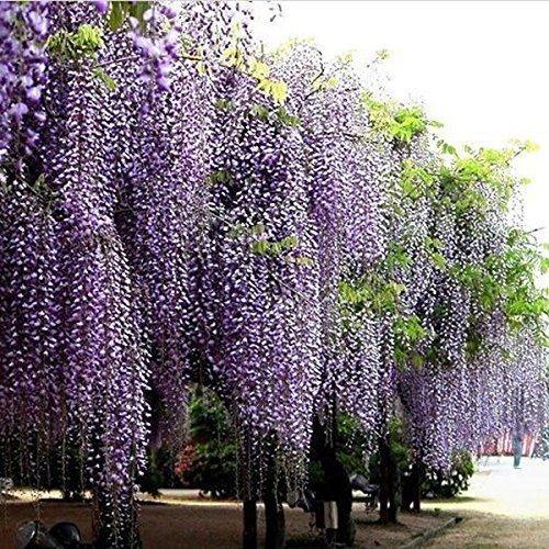 KINGDUO 10Pcs Lila Glyzinien Blüte Samen Wisteria Sinensis Für DIY Home Garten Pflanze