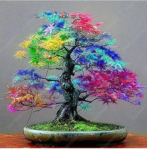 50Ahorn Samen Rare Rainbow Ahorn Baum Samen Japanische Bonsai Baum für Home Garten Pflanzen natürlichen Wachstums Topfpflanzen