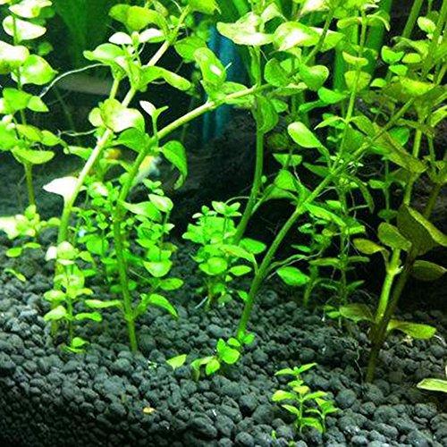 Zhouba 50PCS Acquario Semi Di Piante Acqua Erba Acquatici Tortoise Fish Tank Decorazione