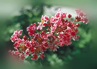 Peppermint Lace Crape Myrtle Lagerstroemia indica - Gallon Potted - 1 Plant