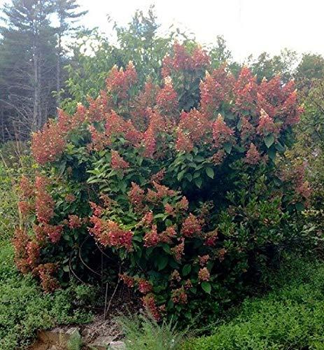 Hydrangea 'Ruby Slippers'- OAKLEAF Hydrangea - Starter Plant - DORMANT