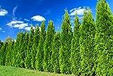 Heckenpflanze - Thuja occidentalis Smaragd - Pflanzhöhe 120-140cm - BALLENWARE