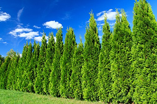 Heckenpflanze - Thuja occidentalis Smaragd - Pflanzhöhe 120-140cm - BALLENWARE (40)