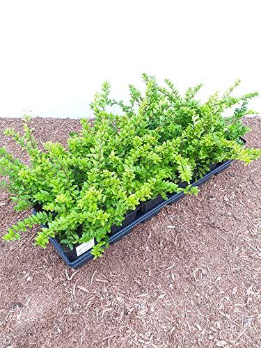 Lonicera nitida 'Maigrün' Heckenmyrte immergrüner aufrechter Bodendecker im Topf gewachsen (10 Stück)