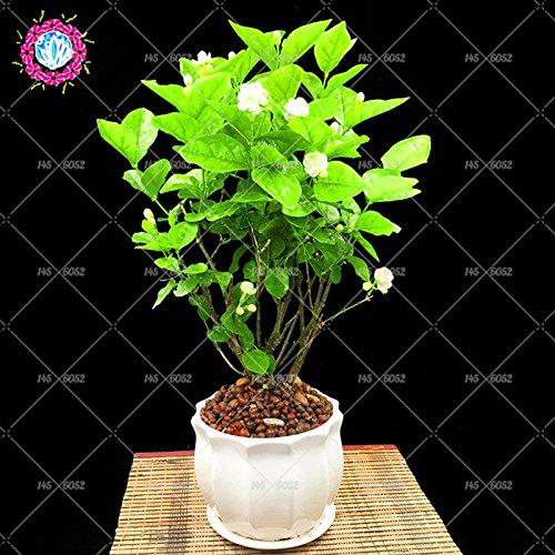 10pcs/sac graines de jasmin (graines de géranium) graines de fleurs bonsaï molly plante jasmin parfum délicat pour le jardin de la maison
