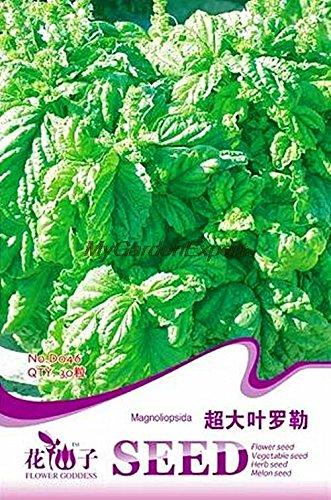 30pcs de vente Hot vert Extra Large Seeds feuilles de basilic, herbes aromatiques, graines végétales comestibles Bonsai Pot Jardin des plantes