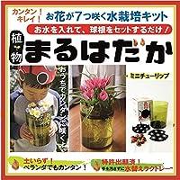 植物まるはだか ミニチューリップ球根水栽培セット 水栽培キット 土いらず お水を入れて、球根セットするだけ じっくり観察 水替え簡単