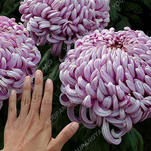100PCS arc-en-Chrysanthème Graines de fleurs d'ornement Bonsai Rare Nouvelle couleur Choisir Plus chrysanthème Seeds Flower Garden Plantes Brown