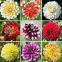 ダリア球根,色や花はとても美しくて美しく、その色もとてもユニークです, 美しく高貴な花、大きくてゴージャス、魔法の香り-15球根