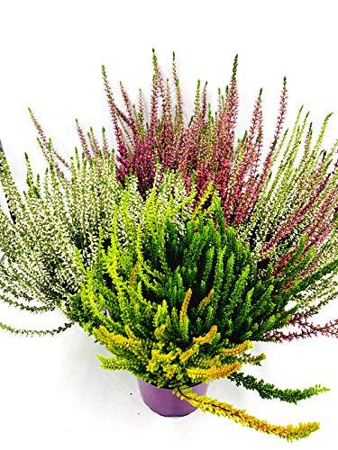 Calluna vulgaris Knospenheiden Winterheide Garden Girls Mix 4stk.im 12cm Topf