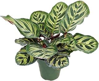 PlantVine Calathea makoyana, Peacock Plant - Medium - 6 Inch Pot (1 Gallon), Live Indoor Plant