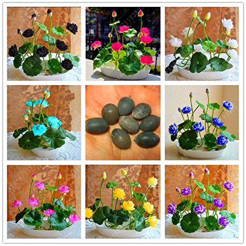 Muti-Color Lotus Seed Hydroponic Aquatic Plants Flower Seeds Pot Water Lily Seeds, 10Pcs (Color : Multi-Colored)