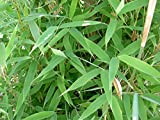 Fargesia murieliae - Hardy Umbrella Bamboo x 3 Clumps