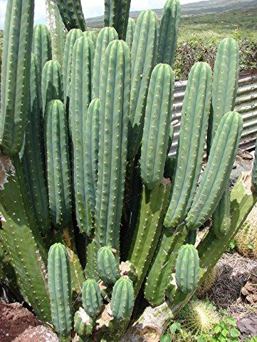 Asklepios-seeds® - 100 Samen Trichocereus pachanoi (Syn. Echinopsis pachanoi), San Pedro Kaktus