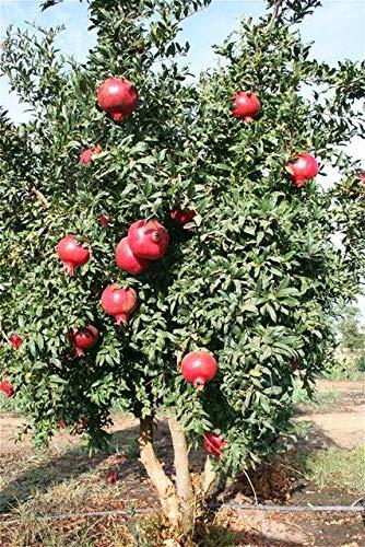 Pinkdose 20 piante Pz melograno molto dolce Delicious Organic frutta Piante ortive Diy piante albero pianta Per la casa Giardino Bonsai impianto: Blu