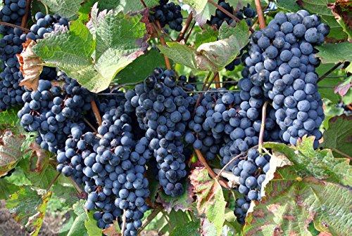 Vitis riparia 5 Samen Riverbank grape, Uferrebe, Weintraube