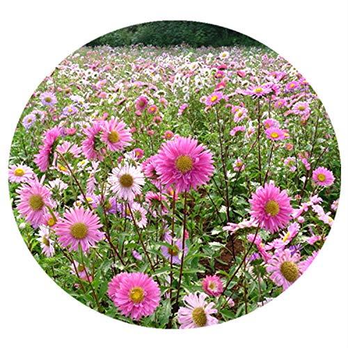 promworld Graines de Parfum rares,Fleurs ornementales pour Balcon,Aster Seeds Balcon Graine De Jardin Graines De Fleurs-Aster_100pcs