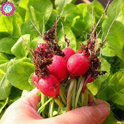 100pcs Cerise Radis Graines graines végétales soins biologiques radis rouge non OGM Fruits Bonsai en pot délicieux légumes graines