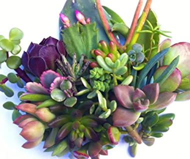 5 Different types of Succulent Cuttings