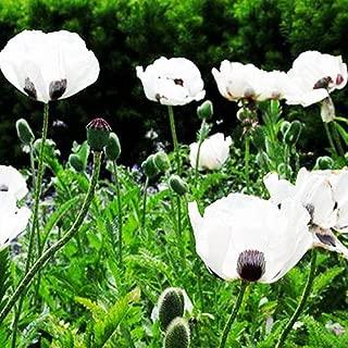 200 Poppy Flower Seeds Papaver Somniferum Giganteum Poppies Seeds~~ Impressive