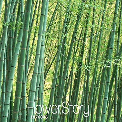 Perte de promotion! 30 Graines Pièces graines fraîches géant Moso bambou pour jardin des plantes de bricolage, # EN23V6