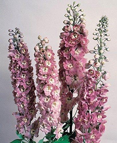 bateau libre 20seeds melissa graines originales abeille fleur graines 2 couleurs disponibles