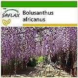 61c0rbSgHcL. SL160  - Arbre Glycine de 144 ans Couvre de fleurs le Ciel au Japon - Voyages, Review, Jardins, Japon, Fleurs