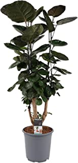 Planta de interior de Botanicly – Polyscias Fabian – Altura: 95 cm