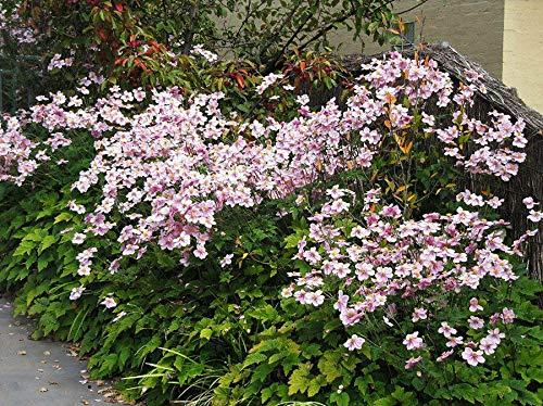 50+多花银莲花野花混合,玫瑰-粉红色和白色花种子,耐寒!- GRP -植物为您的花园装饰