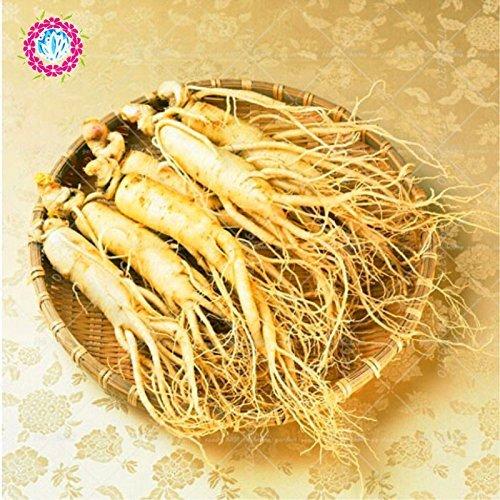 200 semillas estratificadas resistentes china Corea del Panax Ginseng Ginseng semillas, semillas de hierbas, que crecen sus propias raíces de ginseng