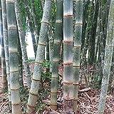 50 semillas - GIGANTE BAMBÚ GIGANTE - de crecimiento rápido y resistente