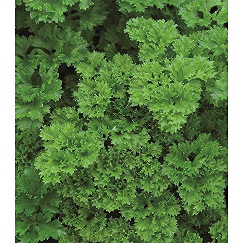 Krause Petersilie \'Grandeur\', Petroselinum crispum \'Grandeur\', Kräuter-Pflanze im Topf 12 cm - Kräuterpflanze, im Topf 12 cm, in Gärtnerqualität von Blumen Eber - 12