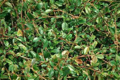 Bodendecker Cotoneaster