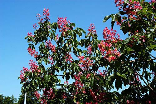 Rotblühende Edelkastanie - Aesculus carnea Briotii - Hochstamm - Stammumfang 12-14 cm - Containerware - Garten von Ehren®