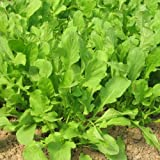 graines de ROQUETTE - Eruca Sativa - 3 grammes