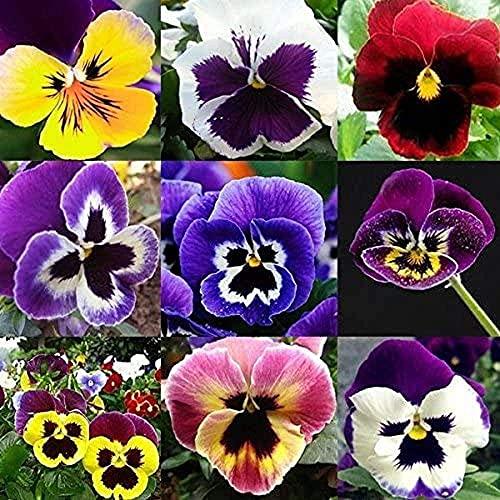 200 pièces Mélanger les graines de fleurs de pensée Annual Perenial Viola Tricolor Fleurs Jardinage Graine pour Planter En Plein Air Maison Jardin Décorer