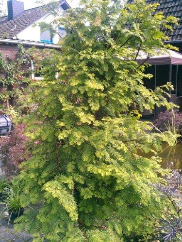 Urwelt Mammutbaum Metasequoia glyptostroboides 125-150 cm hoch im 7,5 Liter Pflanzcontainer
