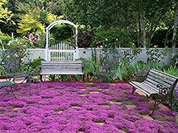 Breckland Creeping Thyme Seeds - 250+ Seeds - Amazing Ground Cover Like an Aromatic Land Carpet