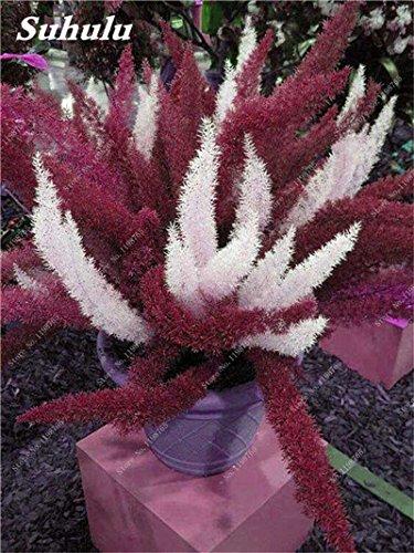Couleur rares sétaire Seeds 60 Pcs sétaire Ferns Bonsai Balcon vivace fleur Plantation intérieur Plantes ornementales Lanscape Semences à gazon 2