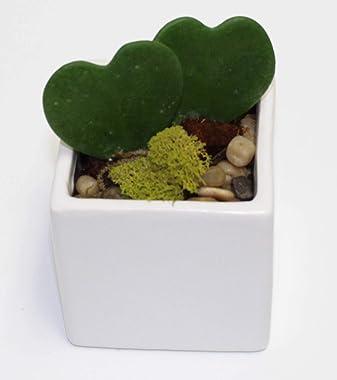 Athena's Garden Heart-shaped Hoya Kerrii 2 Live Plant Succulents White Ceramic Pot Arrangement